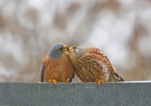 Lesser Kestrel Kiss By: Shlomo Waldmann