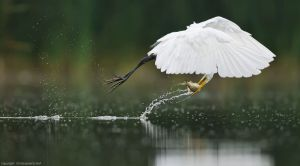 Great Egret Just At The Right Time By: Christopher Schlaf